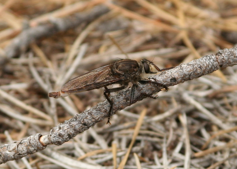 "A robber fly in the genus <i>Proctacanthus</i>, identified by large size, fuzzy white hairs around head, and pattern on dark leading to light pre-terminal area on abdomen.  Confirmed by Herschel Raney on Bug Guide, <a href=""http://bugguide.net/node/view/128381""> here </a>."