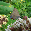 Edwards hairstreak on common milkweed in Atlantic County, photo by Pat Sutton 6/26/09.
