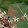 Edward's hairstreak in Atlantic County 6/26/09, photo by Pat Sutton.