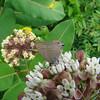 Edward hairstreak on common milkweed, photo by Pat Sutton, Atlantic Co, 6/26/09.