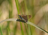 A series of views of two-dotted skipper, <i>Euphyes bimacula</i>, at Klots' Bog, Lakehurst, NJ 6/24/08.  Fun to see!
