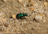 2nd tiger of 2008, C. sexguttata, six-spotted tiger beetle, Old Port Road 4-10-08.