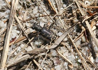 Tiger Beetles 2007-2011