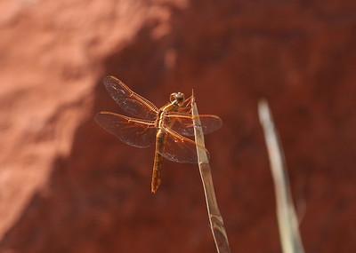 Utah Butterflies & Dragonflies