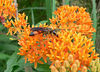 Same individual as previous. Plant is orange milkweed, of course.