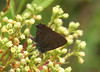 Banded hairstreak, <i>Satyrium calanus</i>, on dogbane.