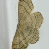 Triple Clay Lines moth
