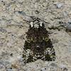 Coronet moth