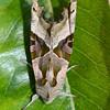 Angle shades moth