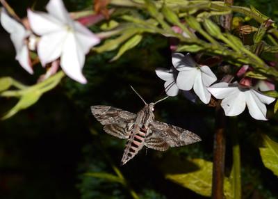 Convolvulus Hawkmoth ( Agrius convolvuli )