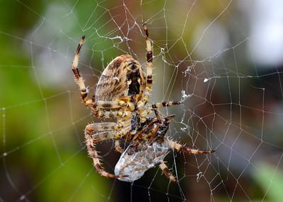 Orb Web Spider (Araneus Diadematus)