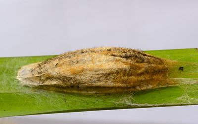 Drinker Moth Cocoon