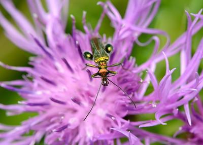 False Oil Beetle