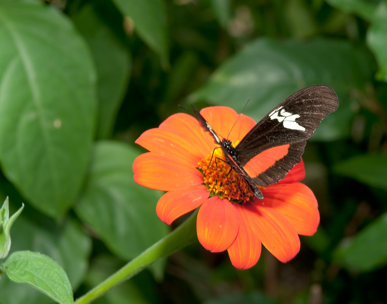 Mexican Longwing (Heliconius hortense)