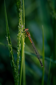 Orange Bluet male damselfly