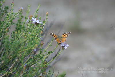 Western Painted Lady