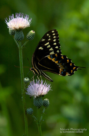 Palamedes Swallowtail Butterfly