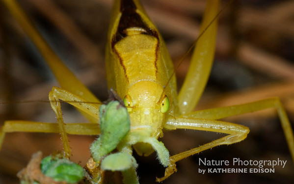 Beetles, Bugs, Mantids, Grasshoppers, Katydids...