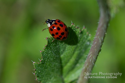Japanese Lady Beetle