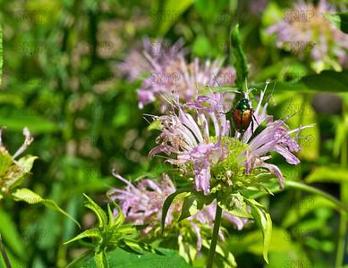 Japanese Beetle (Popilla japonica).