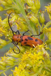 Red Milkweed Beetle (Tetraopes tetraophthalmus).