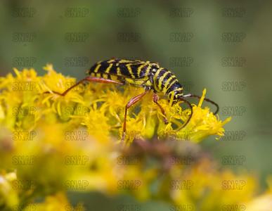 Locust Borer Beetle (Megacyllene robiniae).