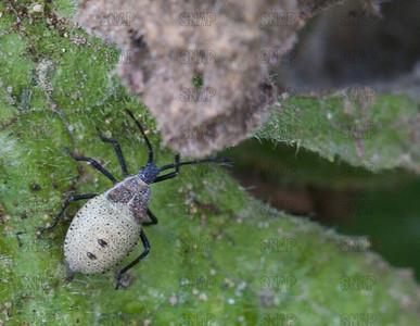 Squash Bug Nymph (Anasa tristis).