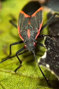 Democrat Bug, Boxelder Bug, The Zug, or Maple Bug (Boisea trivittata).