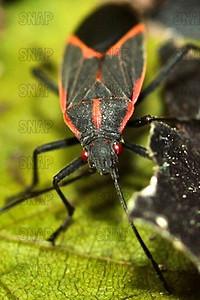 Democrat Bug, Boxelder Bug, The Zug, or Maple Bug (Boisea trivittata).