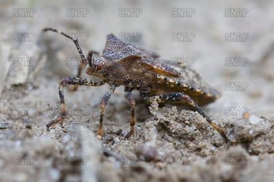 Squash Bug (Anasa tristis).