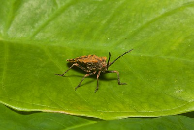 Leaf-footed Bug