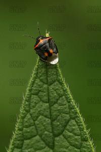Two-Spotted Stink Bug (Perillus bioculatus).
