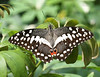 African Citrus-Lime Swallowtail; Common Lime Butterfly; Lemon Butterfly; Lime Swallowtail; Small Citrus Butterfly; Chequered Swallowtail; Mariposa del Muerte; Dingy Swallowtail; Citrus Swallowtail (Papilio demoleus).