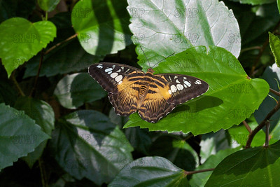 Clipper; Brown Clipper (Parthenos sylvia philippensis).