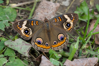 Buckeye Butterfly or Common Buckeye Butterfly (Junonia coenia).