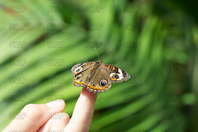 Buckeye Butterfly or Common Buckeye Butterfly (Junonia coenia), on a human finger.