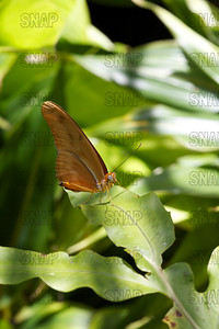 Julia Longwing (Dryas julia).