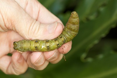 Nessus Sphinx Moth Caterpillar