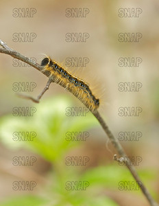 Eastern Tent Caterpillar (Malacosoma americanum), is an insect pest; and the adults are called a Lappet Moth.