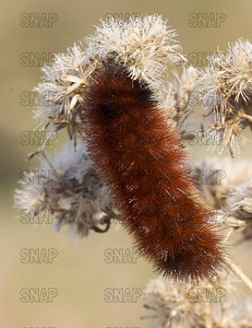 Woolly Bear Caterpillar (Isia isabella).