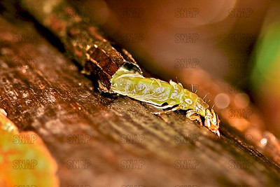 Caddisfly Larva (Order: Trichoptera), coming out of its spun case made of plant material.