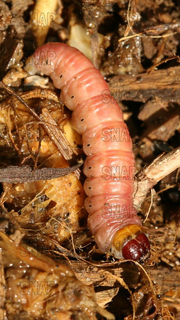 Unknown Larva.