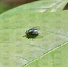 Green Bottle Fly (Lucilia sp.).