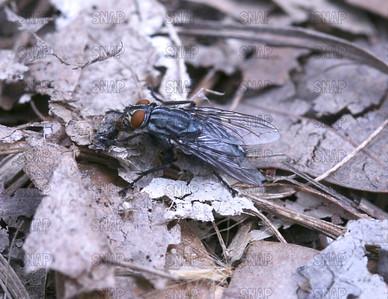 Housefly, House Fly, House-fly or Common Housefly (Musca domestica).