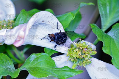 Housefly, House Fly, House-fly or Common Housefly (Musca domestica).