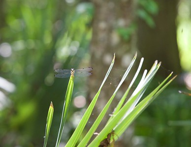 White Faced Dragonfly