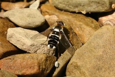 American Hover Fly (Metasyrphus americanus).