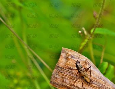 Long Horned Grasshopper (Family Tettigoniidae) on a corn husk.