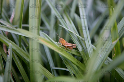 Rusty Red Grasshopper (Chortophaga viridifasciata).