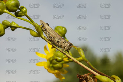 Differential Grasshoppers; Differential Locust (Melanoplus differentialis)